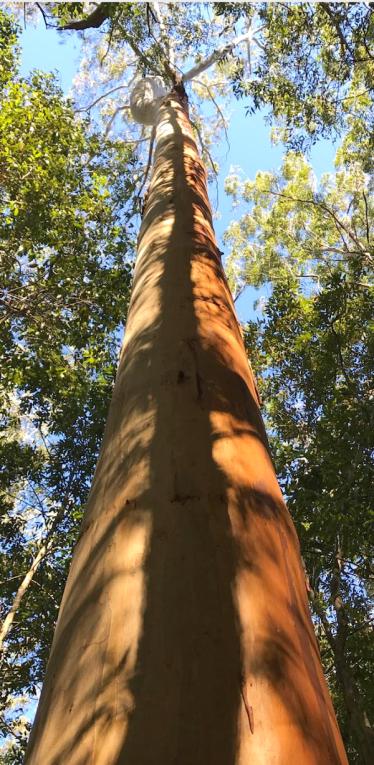 tall tree on moo river farm